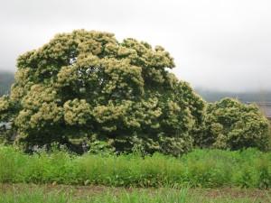 梅雨・クリの木